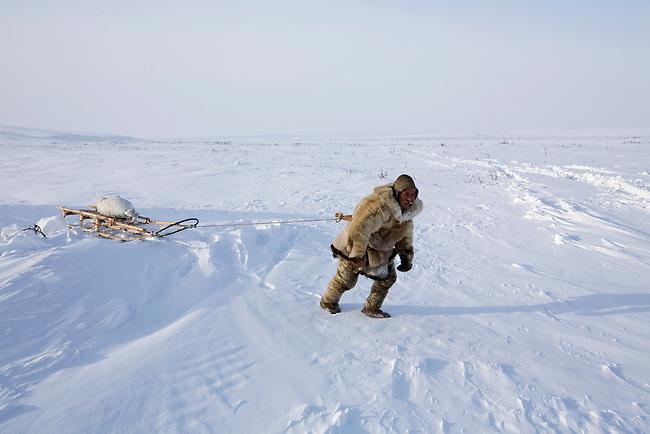Chukchi reindeer herder, Grisha Rahtyn, dragging a Ringed Seal on his sled. Chukotskiy Peninsula, Chukotka, Siberia, Russia