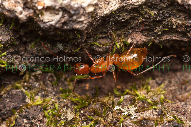 A Carpenter Ant (Camponotus castaneus) explores a fallen dead oak tree.