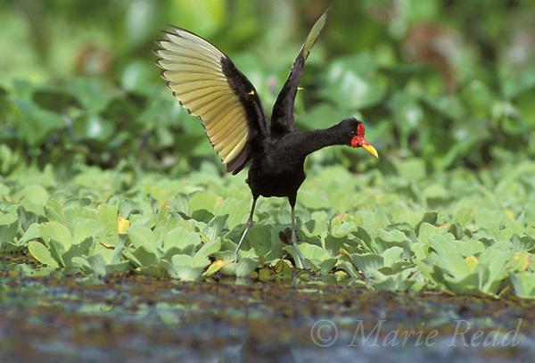 Wattled Jacana (Jacana jacana), giving raised-wing display during alarm, showing yellow wing spurs, Gamboa, Panama.<br /> B49-41