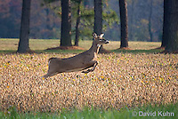1107-0805  White-tailed Deer, Alert and Running in Autumn, Doe (Female), Odocoileus virginianus  © David Kuhn/Dwight Kuhn Photography