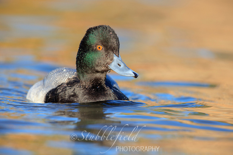 Lesser Scaup (Aythya affinis), male swimming in a lake at Papago Park in Phoenix, Arizona.
