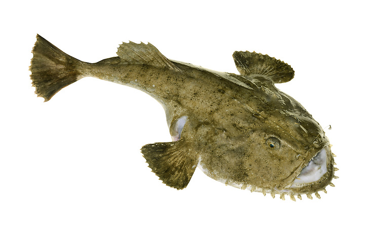 Angler Lophius piscatorius Length to 200cm<br /> Large, flattened and unmistakable fish. Favours sandy substrates; sometimes seen in shallows, but also in deeper water. Adult has a proportionately large head and tapering tail end. Lies in wait for prey, attracted by slender fishing 'lure'; these are engulfed by huge mouth, armed with sharp teeth. Marbled brown and buff colours provide good camouflage on seabed. Widespread and fairly common only in W and SW.