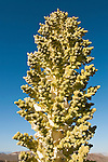 Parry's Nolina in a rare bloom at Tecopa Pass in the Kingston Range of Southern California.