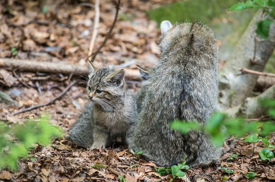 Wilde kat (Felis silvestris) vrouwtje met jongen