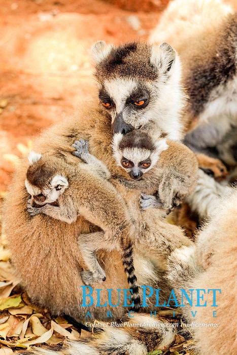 Ring-tailed Lemur (Lemur catta), mother with offspring, Berenty Reserve, Madagascar, Africa