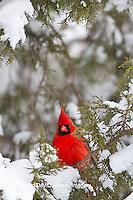 01530-21218 Northern Cardinal (Cardinalis cardinalis) male in Keteleeri Juniper tree (Juniperus chinensis 'Keteleeri') in winter, Marion Co., IL