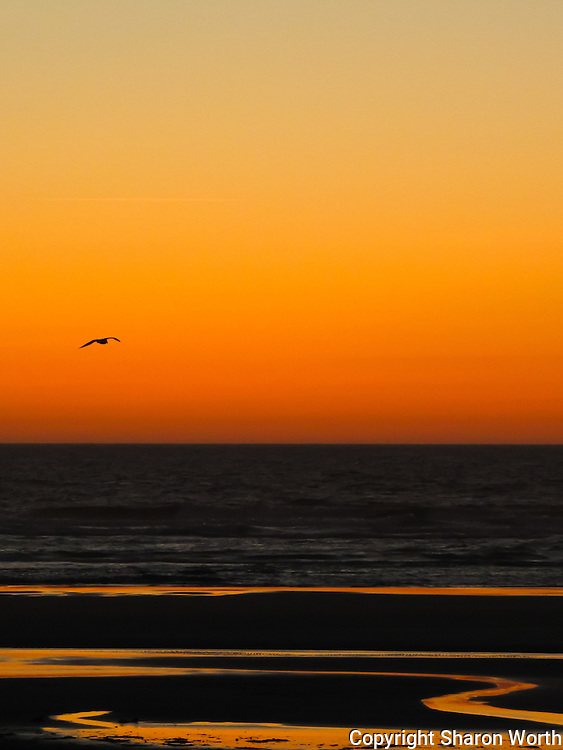 A gull flies, as if into the sunset, at Haceta Beach on the central Oregon Coast.