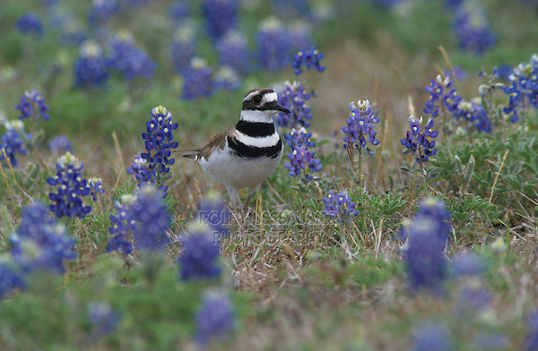 Killdeer, Charadrius vociferus, adult in Texas Bluebonnets, Choke Canyon State Park, Texas, USA, April 2002
