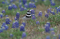 Killdeer, Charadrius vociferus, adult in Texas Bluebonnets, Choke Canyon State Park, Texas, USA, April 2002