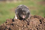 Dead mole on pile of soil, Suffolk, England, UK