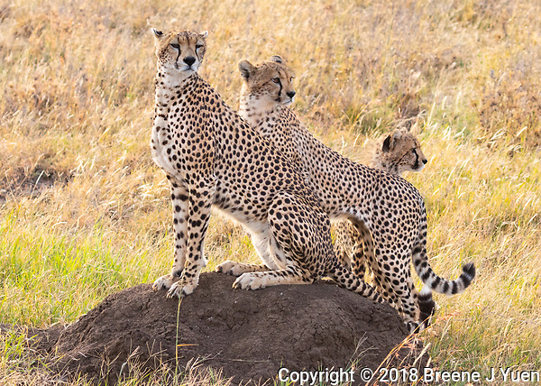Cheetah Family, Serengeti