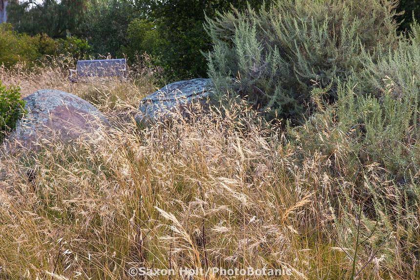 Nassella pulchra, (aka Stipa pulchra), Purple needlegrass - California natives grass meadow with Artemisia californica, California sagebrush in summer-dry garden, Santa Barbara California
