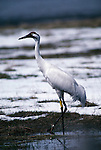 Whooping crane walking through water at the Grays Lake National Wildlife Refuge, Idaho