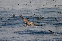 bird, Cory's Shearwater, Calonecctris diomedea borealis, Azores Islands, Portugal, North Atlantic