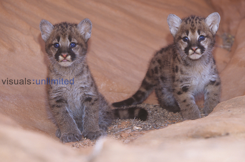Mountain Lion, Cougar, or Puma cubs ,Felis concolor,, Western USA.