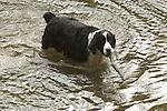 Springer Spaniel, Loyalsock Creek with stick