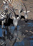 Zebras checking me out at a water hole in the Nakuru National Park, Kenya