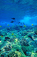 Reef fish in the pristine clear blue water off Kealakekua Bay on the Big Island of Hawaii.