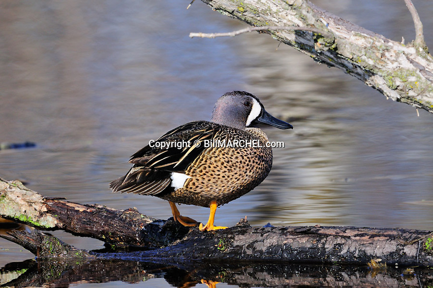 00315-066.13 Blue-winged Teal drake is perched on a log over water.  Hunt, waterfowl, wetland.