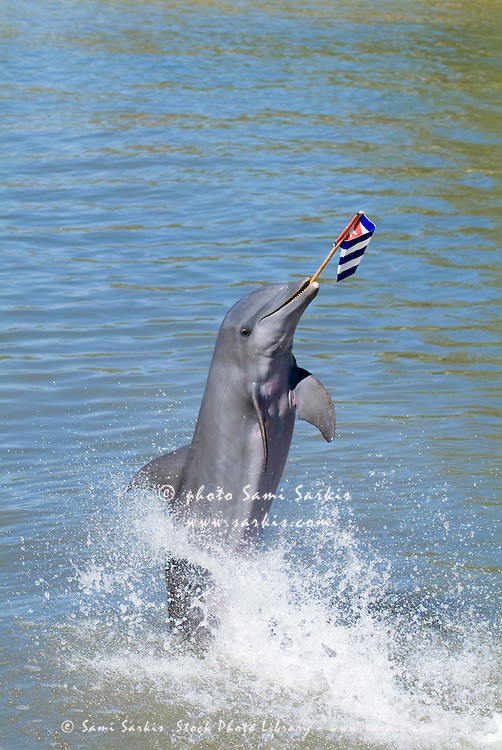 Bottlenose dolphin (tursiops truncatus) holding a flag at the Cienfuegos Delphinarium, Cuba.