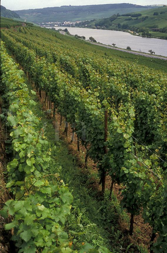 AJ2137, vineyard, Luxembourg, Europe, Vineyard along Moselle Valley and Moselle River near Ahn.