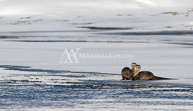 Only my second view of river otters while leading a tour in Yellowstone.  This pair appeared in Hayden Valley.
