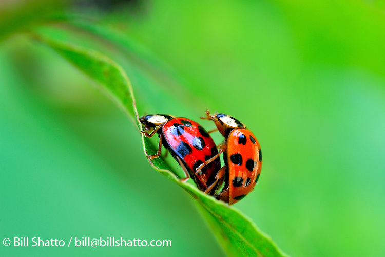 A pair of ladybugs mating on the edge of a green leaf.