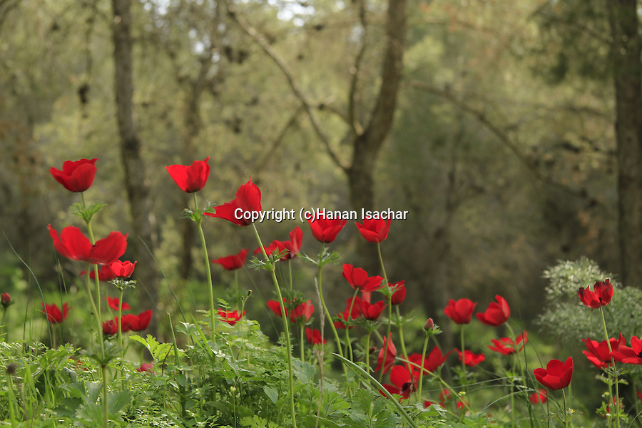 Israel, Anemone flowers on Mount Gilboa