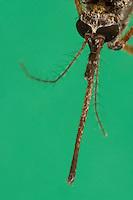 Stechmücke, Weibchen, Portrait mit langem Stechrüssel, Mundwerkzeug,  Mundwerkzeuge,  Aedes spec., (Aedes cf. vexans), mosquito, Stechmücken, Gelsen, Gelse, Culicidae