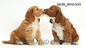 Kim, ANIMALS, REALISTISCHE TIERE, ANIMALES REALISTICOS, fondless, photos,+Two cute Cockapoo puppies nose-to-nose,++++,GBJBWP41930,#a#