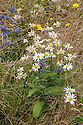 Wildflowers: Ox-eye Daisy (Leucanthemum vulgare), Cornflower (Centaurea montana), Sheep's Bit Scabious (Jasione laevis), Swiss Alpine Show Garden, Hampton Court Flower Show 2012.