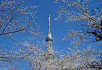 April 6, 2012, Tokyo, Japan - Tokyo Sky Tree stands tall against the clear blue sky behind cherry blossoms at a downtown park on Friday, April 6, 2012. It's springtime in Tokyo and time to stop and appreciate fragile pale pink blossoms in full bloom all over the nation's capital. Last year, Japan's most popular national passtime was somewhat muted due to the March 11 earthquake and tsunami. But this year, the centuries-old tradition has come back with revelers eager to use the occasion as a way to break from a year marked by the crisis and disaster. (Photo by Natsuki Sakai/AFLO) AYF -mis-