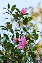 Autumn-flowering Camellia sasanqua 'Hugh Evans', mid November.