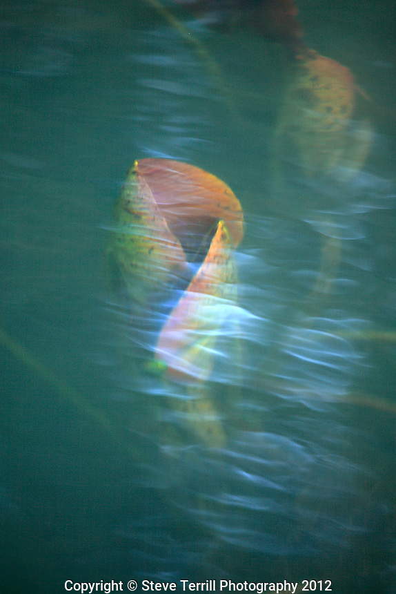 Water lily leaf unfurling underwater in Redwing pond, Oregon
