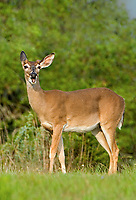 625350298v a wild young whitetail deer odocolieus virginianus poses in a copse of trees on a ranch in the hill country of central texas