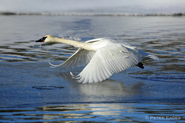 Trumpeter Swan Taking Flight