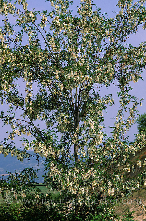 Robinie, Gewöhnliche Scheinakazie, Schein-Akazie, Robinia pseudoacacia, False Acacia, Black Locust, Robinia