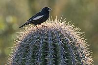 A male Lark Bunting, Calamospiza melanocorys, perches on a Saguaro cactus, Carnegiea gigantea, in Saguaro National Park, Arizona