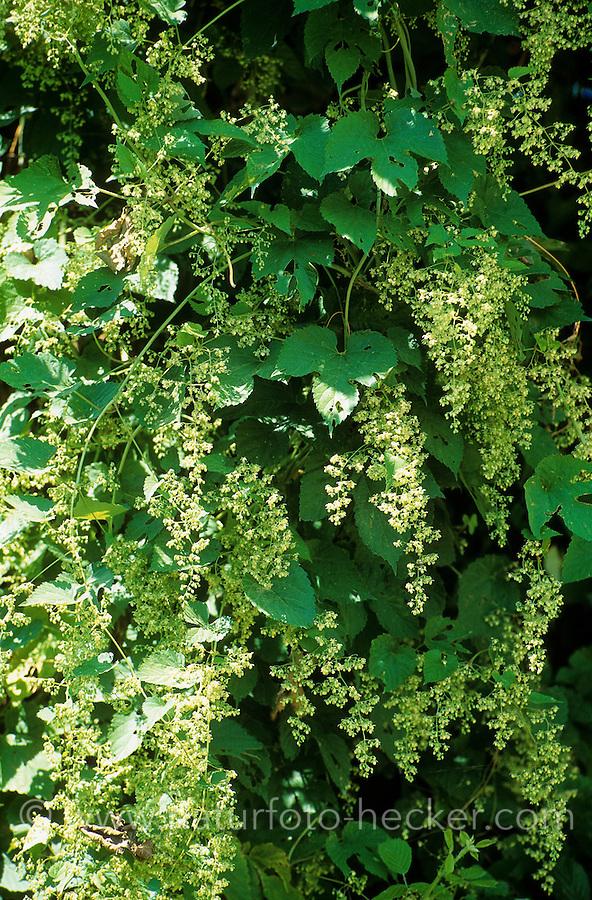 Weinrebe, Weintraube, Wein, Wein-Rebe, Blüten, Vitis vinifera, Grape Vine