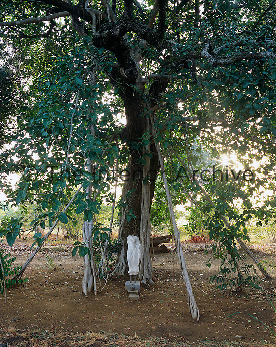 A sacred grove has been created under the spreading branches and roots of this jungle tree