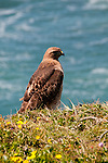 California wildflower travel: Red tail hawk at Point Reyes.Photo copyright Lee Foster.  Photo # cawild102484