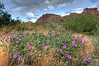 Desert Four O'Clock Flowers are blooming during the summer at Zion National Park, Utah