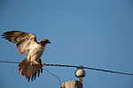 A red-tailed hawk perched on an electric line begins to turn as it prepares to take off.