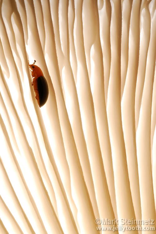 A Fungus Beetle (Triplax sp.) makes it way across the gills of an Oyster Mushroom (Pleurotus ostreatus), on which it feeds.