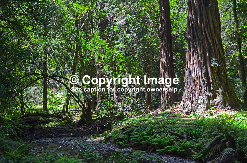 Muir Woods is world famous for its redwoods, Sequoia sempervirens. it is  located in the midst of a metropolitan region just eight miles north of San Francisco. 201304302162<br /> <br /> Copyright Image from Victor Patterson, 54 Dorchester Park, Belfast, UK, BT9 6RJ<br /> <br /> Tel: +44 28 9066 1296<br /> Mob: +44 7802 353836<br /> Voicemail +44 20 8816 7153<br /> Skype: victorpattersonbelfast<br /> Email: victorpatterson@me.com<br /> Email: victorpatterson@ireland.com (back-up)<br /> <br /> IMPORTANT: If you wish to use this image or any other of my images please go to www.victorpatterson.com and click on the Terms &amp; Conditions. Then contact me by email or phone with the reference number(s) of the image(s) concerned.