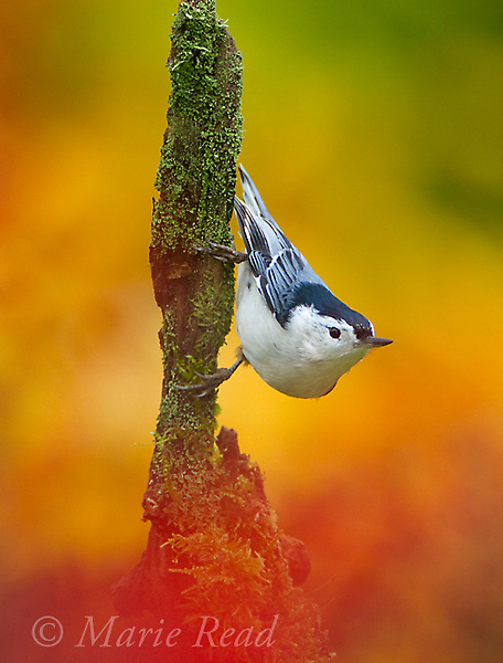 White-breasted Nuthatch (Sitta carolinensis) clinging to lichen-covered stump surrounded by colors of autumn foliage, New York, USA
