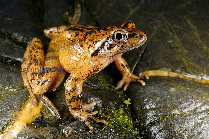 Italian Stream Frog (Rana italica), Italy
