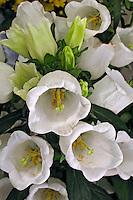 Flores. Campânula ( Campanula medium). SP. Foto de Manuel Lourenço.