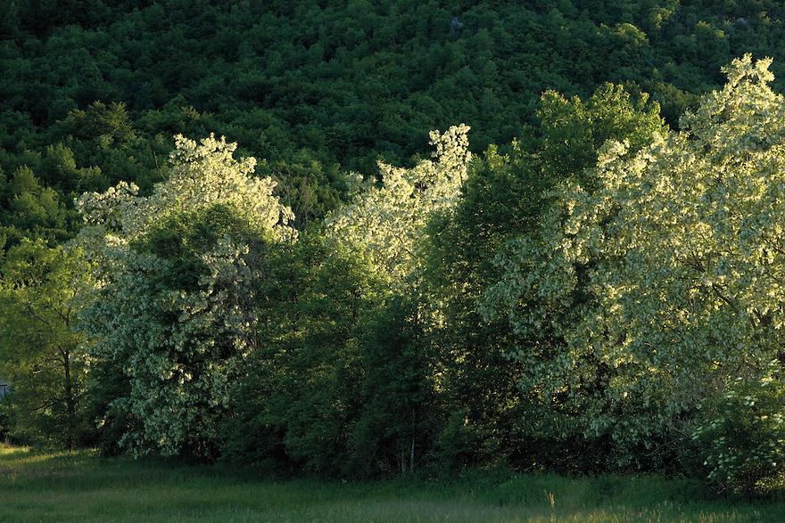 Black locust (Robinia pseudoacacia) in a day that the strong Bora wind blowing. Caprazlije area. Livasnsko Polje. May 2009. Bosnia-Herzegovina. <br /> Elio della Ferrera / Wild Wonders of Europe