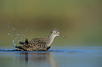 Lesser Yellowlegs, Tringa flavipes,adult bathing, Welder Wildlife Refuge, Sinton, Texas, USA